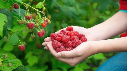 руки сбощика ягод с горстью малины